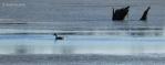 Watson Lake solitarygoose