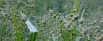 Watson Lake wild grassbuds