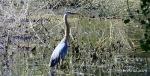 Watson Lake heron