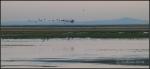 Antelope Island shore birds in flight over Great SaltLake