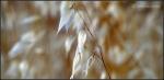 Like pearls ofgrass