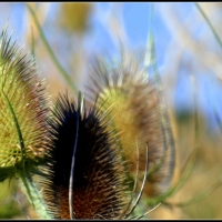 a tease of teasels