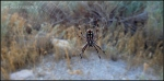 Western Spotted Orb spider on Antelope Island