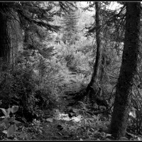 forest dreams in black and white