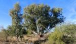New River ancient eucalyptustree