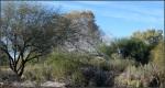 New River giantfoliage
