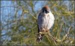 New River walkway small falcon orhawk