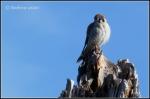 New River walkway hawk/falcon on deadtree