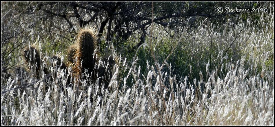 White Tank Mountain cactus in grass
