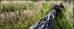White Tank Mountains cholla in grass
