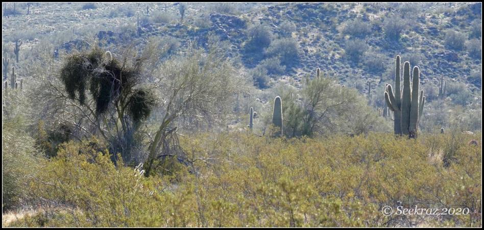 White Tank Mountain creosote, palo verde, and saguaro