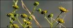 White Tank brittlebush blossoms6c