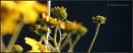 White Tank brittlebush blossoms8c