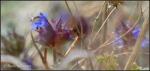 White Tank Chia flowers blurredcloseup