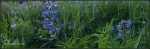 Wasatch lupine