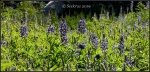 Wasatch Mountain lupinecluster