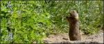 Wasatch Mountain chipmunk ?feeding