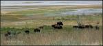 American Bison at Antelope Island2