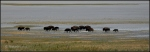 American Bison at Antelope Island 3