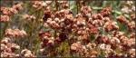 Caramel ball wildflowers1