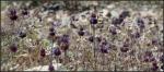 White Tank Chia flowers en masse incontext