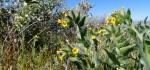 White Tank common fiddleneck blooms2