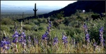 White Tank Coulter's lupine, wild grasses, creosote, and saguarocacti