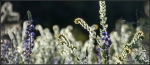 White Tank fiddlehead and lupine incontext
