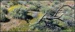White Tank green desert with brittlebush and treeskeleton