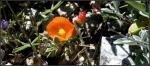 White Tank orangeglobe-mallow