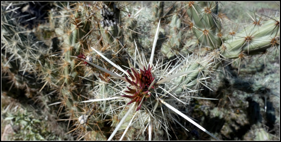 Probably Buckhorn Cholla, not Staghorn