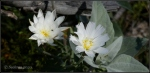 White Tank whitewildflowers